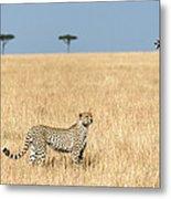 Cheetah Acinonyx Jubatus In Plains Metal Print