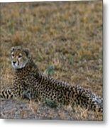Cheetah At Rest Metal Print