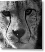 Cheetah Black And White Metal Print