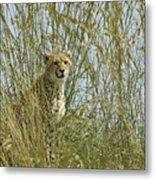 Cheetah Cub In Grass Metal Print