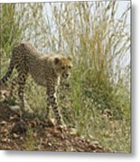 Cheetah Exploration Metal Print