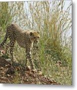 Cheetah Exploration Metal Print