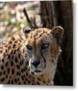 Cheetah Gazing Metal Print