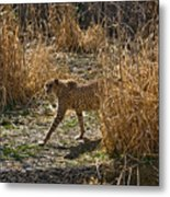 Cheetah  In The Brush Metal Print by Douglas Barnett