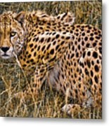 Cheetah In The Grass Metal Print