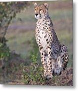 Cheetah Meditating Metal Print