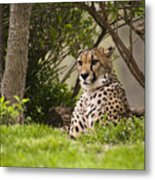 Cheetah Of The Hill Metal Print