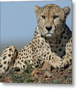 Cheetah On Mound Metal Print