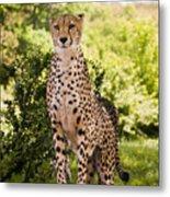 Cheetah Overlook Metal Print