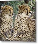 Cheetah Pair Metal Print