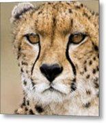 Cheetah Portait Metal Print