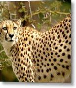 Cheetah Portrait Metal Print