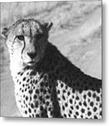 Cheetah Pose Metal Print