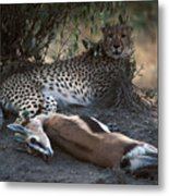 Cheetah With Kill Metal Print