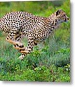 Cheetahs Acinonyx Jubatus Hunting Metal Print