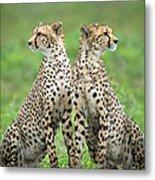 Cheetahs Acinonyx Jubatus In Forest Metal Print