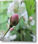 Cherokee Rose Of Dover Metal Print