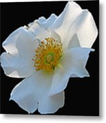Cherokee Rose On Black Metal Print