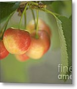 Cherries Hanging On A Branch Metal Print