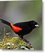 Cherrie's Tanager Metal Print by Heiko Koehrer-Wagner