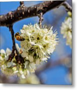 Pear Blossom And Bee Metal Print