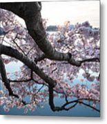 Cherry Blossom Breeze Metal Print