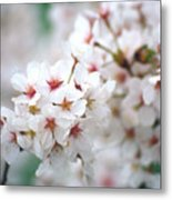 Cherry Blossom Close-up No. 6 Metal Print
