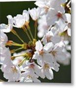 Cherry Blossom Cluster Metal Print