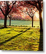 Cherry Blossom In A Park At Dawn Metal Print