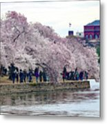 Cherry Blossom In Washington D C Metal Print