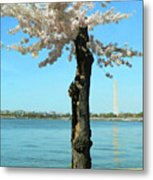 Cherry Blossom Portrait Metal Print