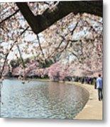 Cherry Blossom Stroll Around The Tidal Basin Metal Print