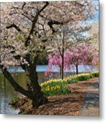 Cherry Blossom Trees Of Branch Brook Park 17 Metal Print