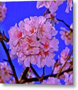 Cherry Blossoms 004 Metal Print