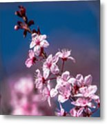 Cherry Blossoms 3 Metal Print