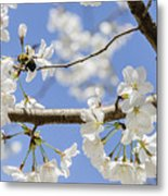 Cherry Blossoms And Bumblebee Metal Print