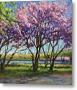 Cherry Blossoms, Central Park Metal Print