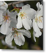 Cherry Blossoms II Metal Print