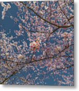 Cherry Blossoms In Bloom Metal Print