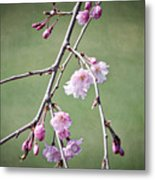 Cherry Blossoms In Early Spring Metal Print