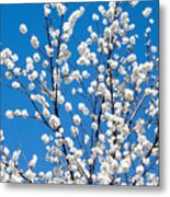 Cherry Blossoms In Julian California Metal Print