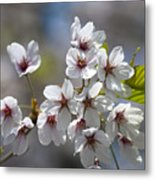 Cherry Blossoms In The Morning Metal Print