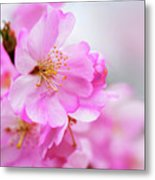 Cherry Blossoms Sweet Pink Metal Print