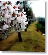 Cherry Blossoms Trail Metal Print