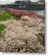 Cherry Blossoms Trees Along Portland Waterfront Metal Print