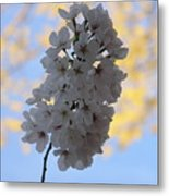 Cherry Blossums Metal Print