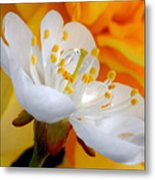 Cherry Flower In The Spring, In Profile Metal Print