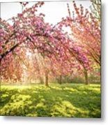 Cherry Flowers Garden Illuminated With Sunrise Beams Metal Print