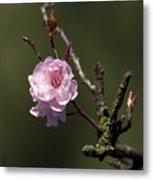 Cherry Tree Bloosom Metal Print