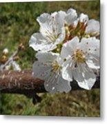 Cherry Tree Blossom White Flower Metal Print